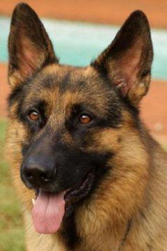 Kenelm GSD Breeders | German Shepherd Puppies For Sale | Boarding
